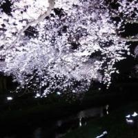 野川の桜ライトアップ