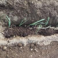 ネギとポロネギを植える(その2終わり)