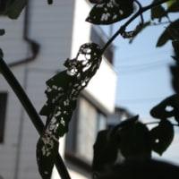 昨日記 120811 土 (33/26 晴・にわか雨 園芸・テントウムシ アシナガバチ  スズメバチ)