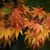 滋賀県マキノ町のメタセコイアの紅葉風景(11月29日)