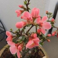 春の色で咲いています! 木瓜の花