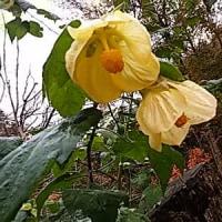 俊枝ちゃん。・の花、アプチロン、、まだ、寒空にも。負けず。・・・・・・