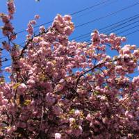 鎧兜・八重桜・ハナミズキ
