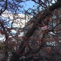 2.13の桜… 一分咲き