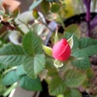 ムラサキゴテンとバラの蕾