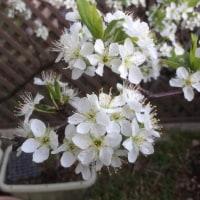 ようやくサクラが咲き始めました。