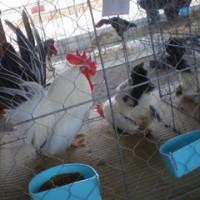 鶏の品評会 №2