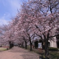 パティオの桜