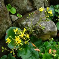 『吉田邸の花』 ツワブキ
