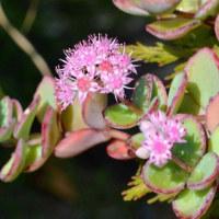 ミセバヤの花と紅葉