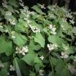 野の薬草「ドクダミ」,恵庭の花-13