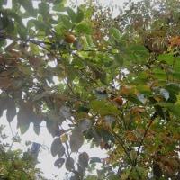 柿の初なり