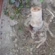 サザンカの根っこ  その2  追加あり。