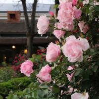 栗の里レストランの薔薇