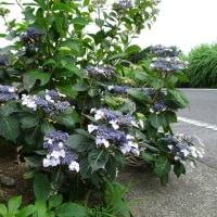 茶畑の小道に、いろんな花が咲いている