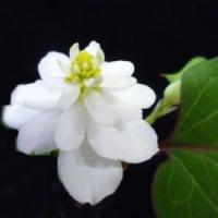 趣味の店 万年青(おもと)   芝生の中に、かわいい小さな ニワゼキショウが、咲いていました。