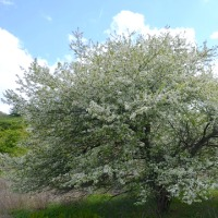 ズミの花満開の頃、21℃の爽やか午後の森は賑やか。