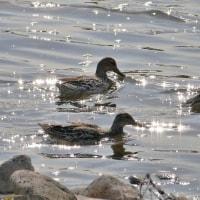淀川と武庫川で鳥見 シマアジ堪能