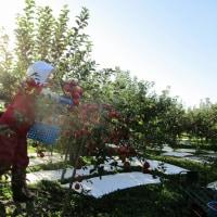 シナノスイートの収穫
