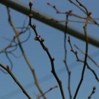 ブルーベリーの芽吹き、夏にはブルーベリー狩り。