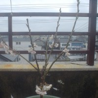 屋上で咲く桜