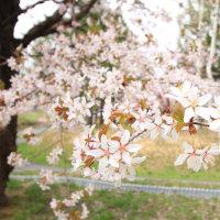 遅れてきた桜