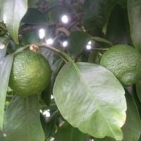 梅雨明け前の曇天の休日は庭で植木の剪定と柑橘類の出来具合チェック?