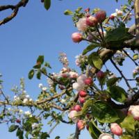 りんごの花が満開です