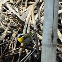 竹の隙間から見えた、カオグロアメリカムシクイ。