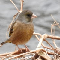 大堀川周辺の野鳥_カワラヒワ(河原鶸)