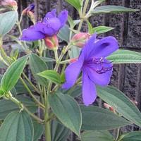 野牡丹(のぼたん)という花