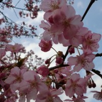 しらこ桜祭り