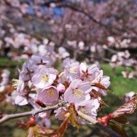 桜 2017〈4〉