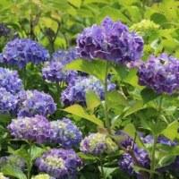 愛知県春日井市の都市緑化植物園では、アジサイの花がよく咲いています
