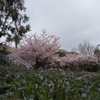 桜満開の王子が岳で朝練