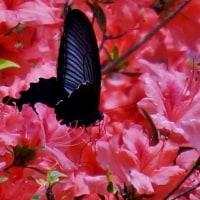 花と蝶・昆虫 170427
