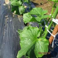 日記(5.29)家庭菜園