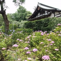松戸 本土寺の紫陽花