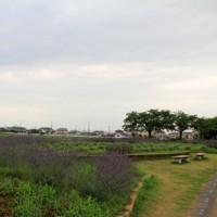 菖蒲総合支所周辺のラベンダー
