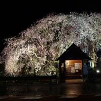 桜の花見は終了で