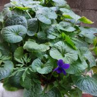 スミレの育て方12月 スミレの花を楽しむ  ボーンマス・ジェム12月も咲く