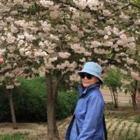 我が家の桜満開