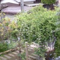 モッコウバラ開花~ 白八重&黄八重