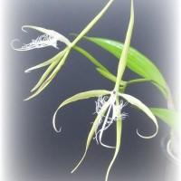 エピデンドラム Epidendrum ciliare