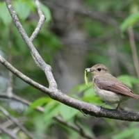 キビタキの母鳥