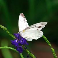 多摩動物公園・蝶を撮る。