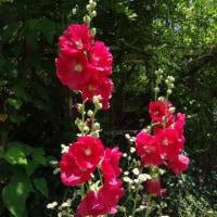 6月17日 活動報告 ③ 7種類のハスが咲いています