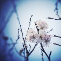 桜が咲くら