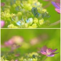ブルーの紫陽花