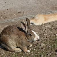 再び~大久野島のウサギ